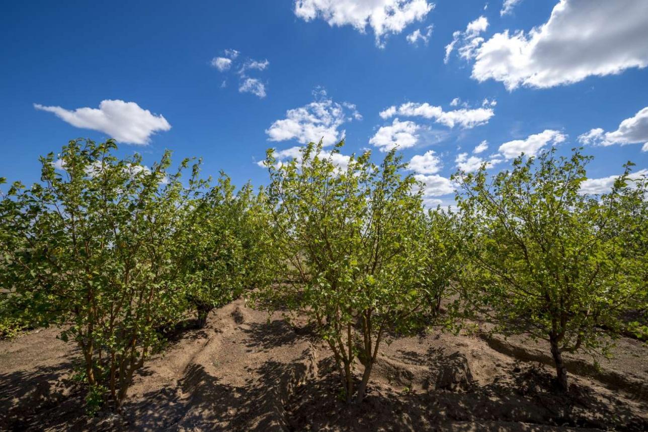 На месте ядерных испытаний сегодня разбит фруктовый сад