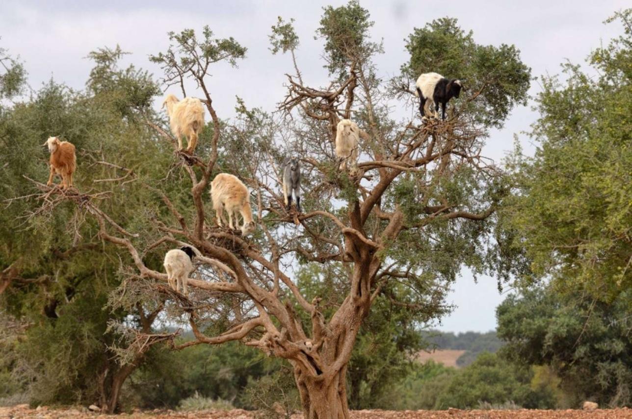Летающие козы на дереве арган, Марокко