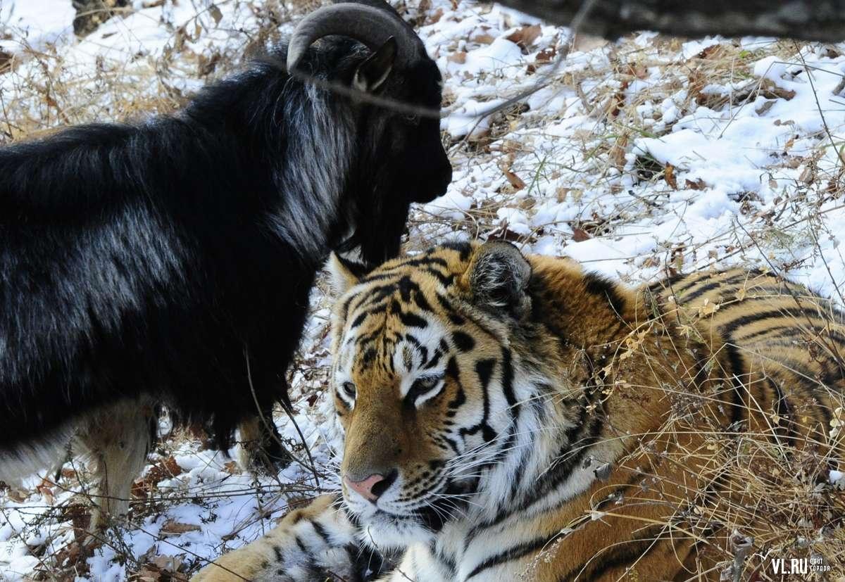 Козёл Тимур и тигр Амур