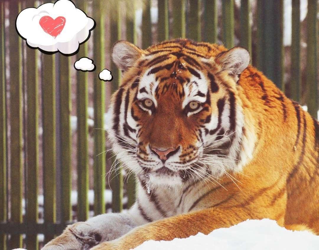 Тигр Урман