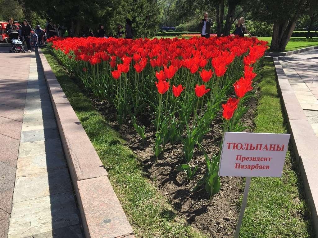 """Тюльпаны сорта """"Президент Назарбаев"""""""