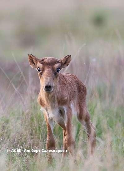 43 детёныша сайги устюртской популяции уже помечены ушными бирками