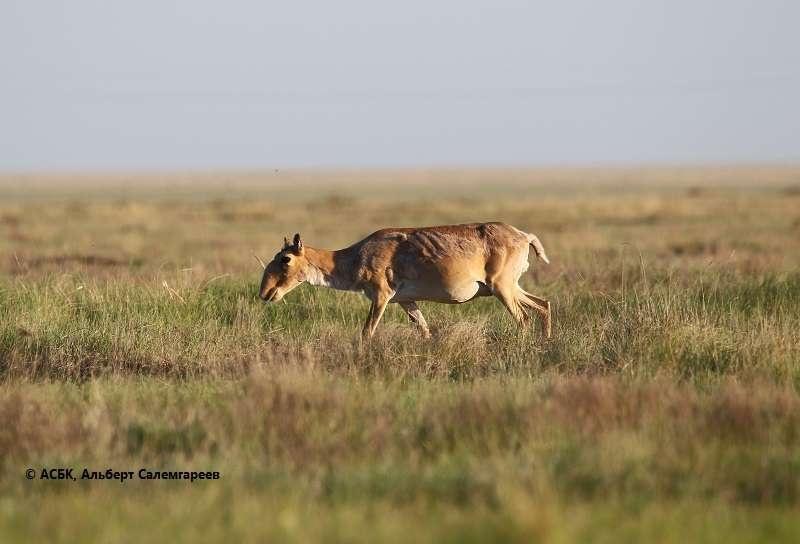 Основная задача учёных - предотвращение массовой гибели сайги и изучение её поведения