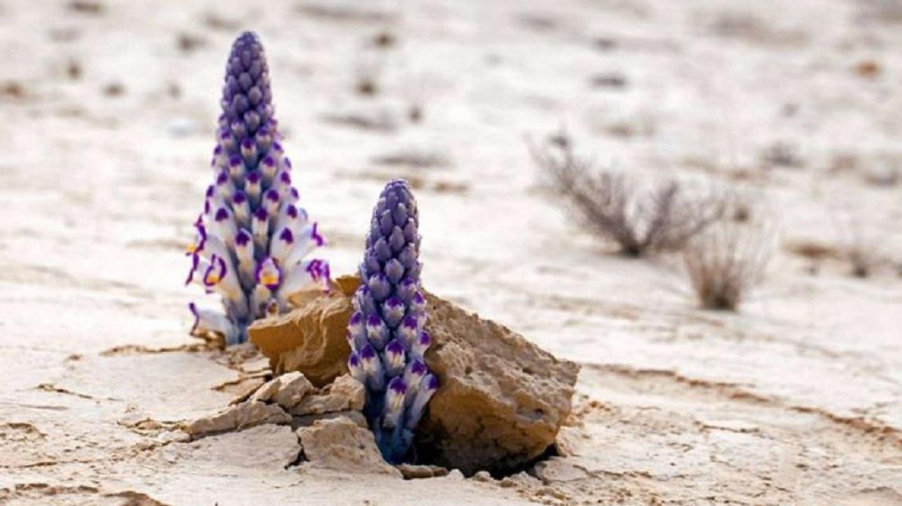 40-30 жылда бір тұқымдайтын сексеуіл ағашының тамырындағы нәрмен қоректенетіндіктен, оның жаппай қазылып алынғанын құптайтындар бар