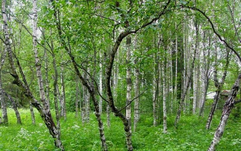 Аллергия тудыратын ағаштардың ішінде бірінші орында –қайың. Одан кейін терек. үйеңкі, шырша қарағай да аллерген ағаш түріне жатады