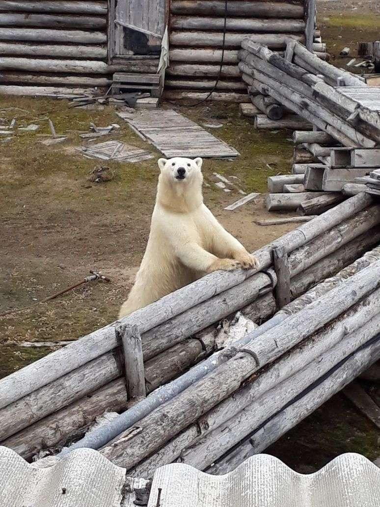 В гости к волонтёрам пожаловал северный медведь. Безопасность студентов обеспечивали двое спасателей