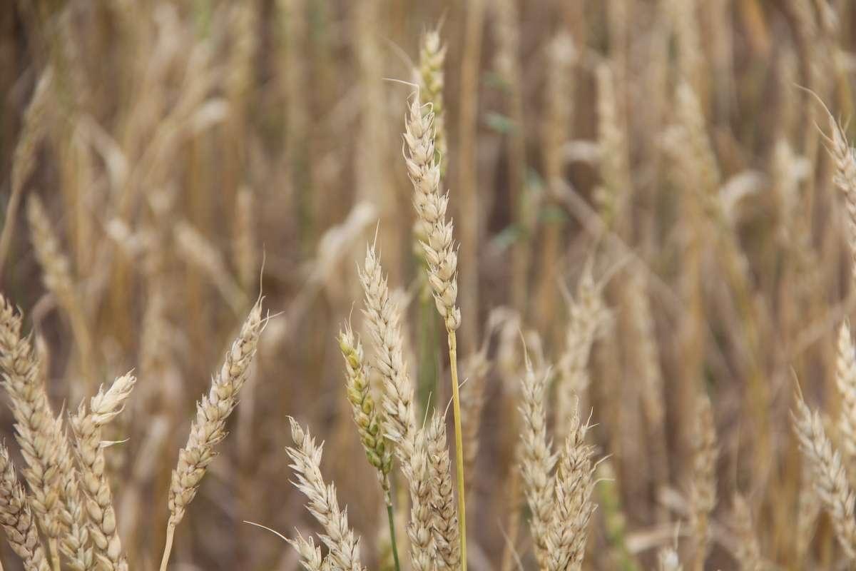 Часть зерна, собранная компанией, идёт на рынок, другая - на изготовление комбикорма