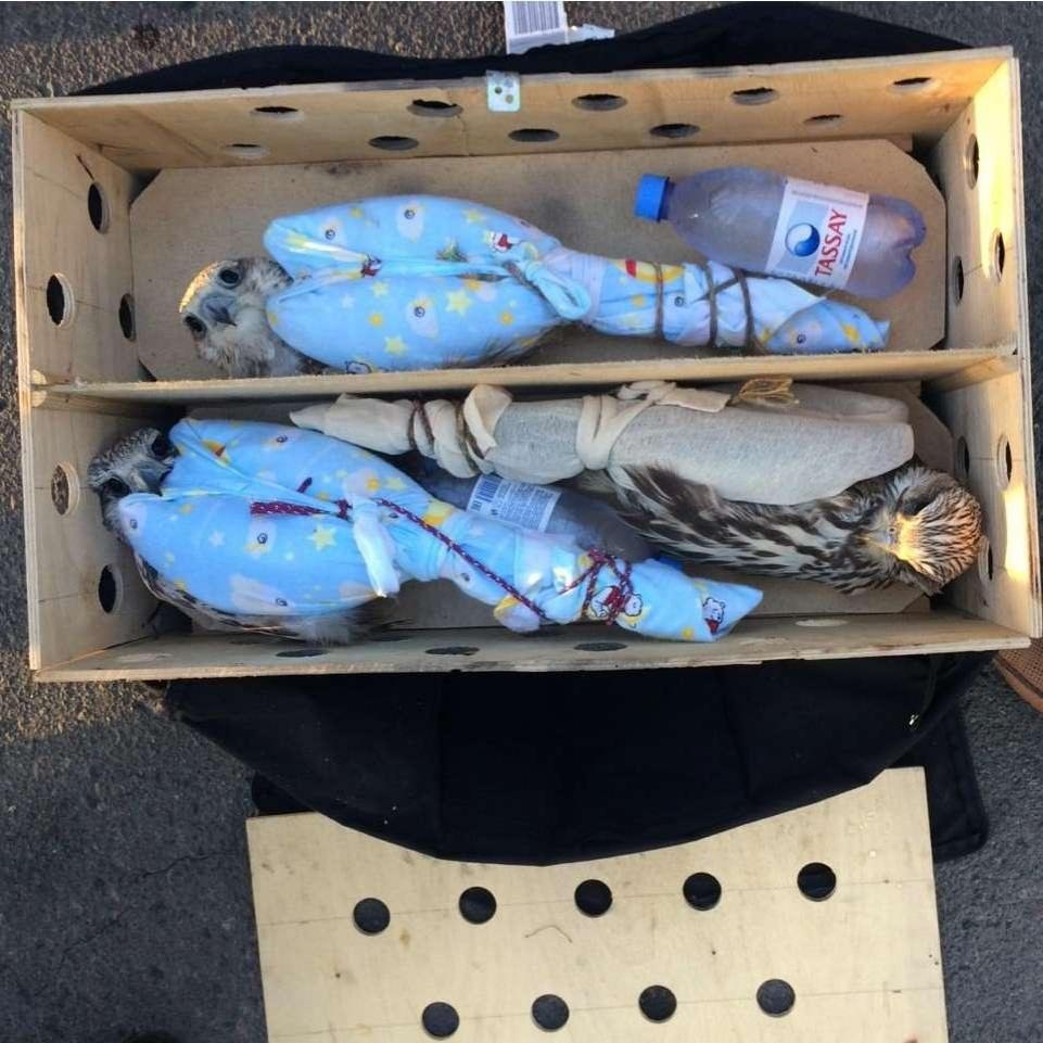Соколы-балобаны находились в ящиках