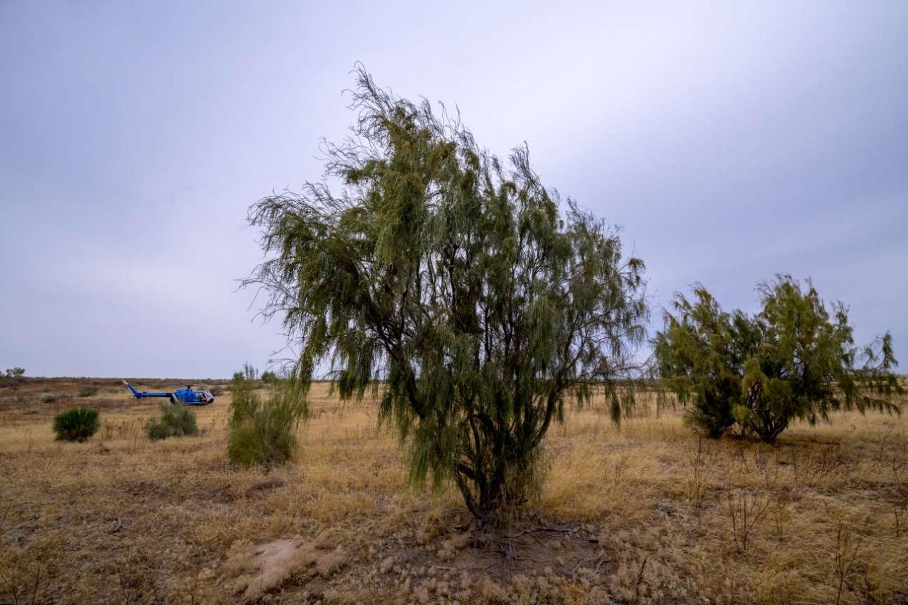Саксаул – единственное дерево, способное расти в пустыне