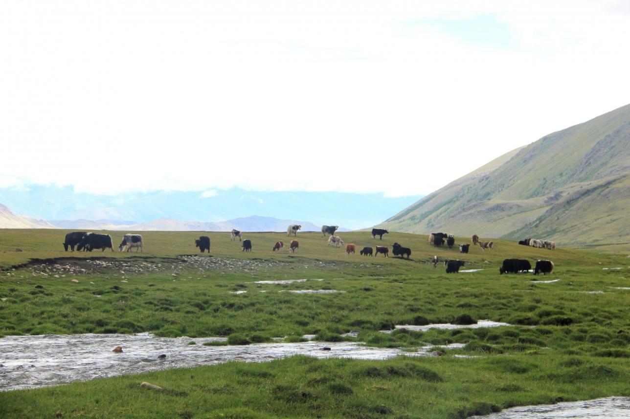 Жайлаудағы мал табындары