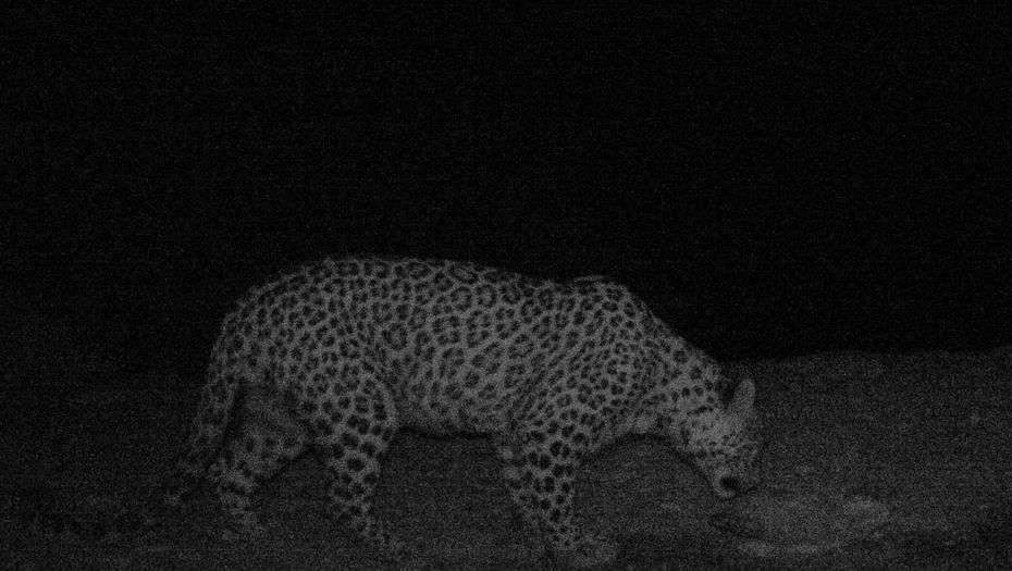 Фотоловушка зафиксировала леопарда в заповеднике Устюрт