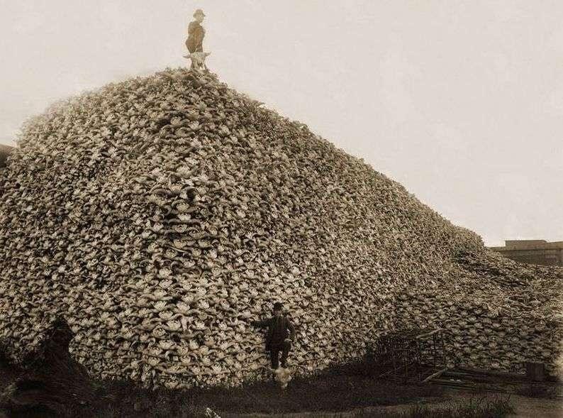 Солтүстік Америкада бизондардың бас сүйегінен үйілген мұнара