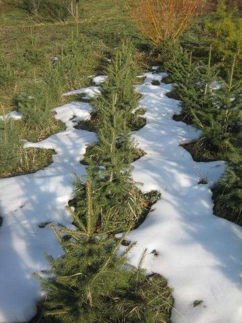 На место вырубленных деревьев посадят ели тянь-шанские