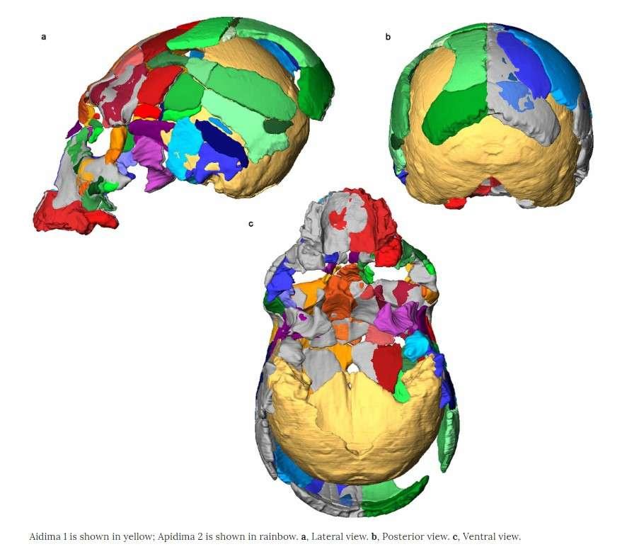 Реконструкция черепов Апидима 1 и Апидима 2 / иллюстрация из исследования в Nature