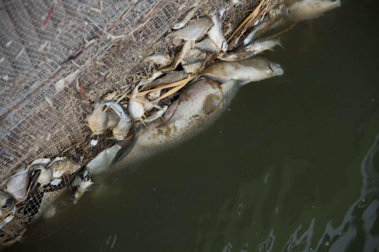 Массовая гибель рыбы в Урале